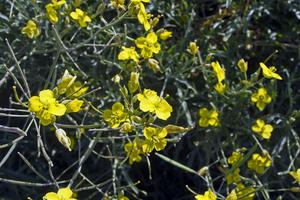 Diplotaxis à feuilles étroites