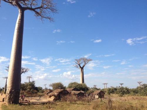 Allée des Baobabs!