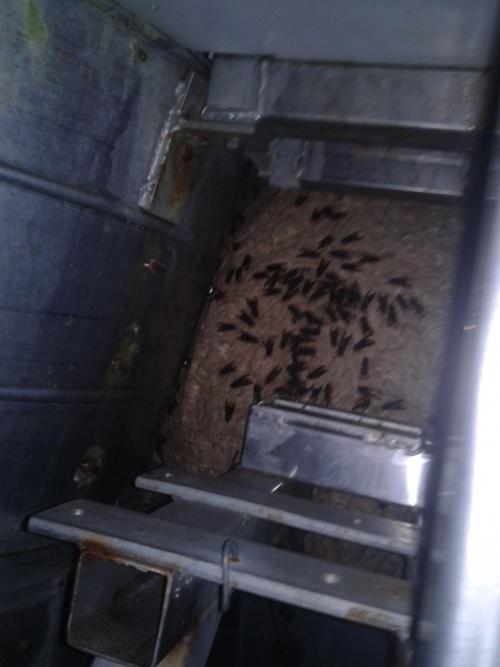 frelon asiatique nid du secteur pays royannais