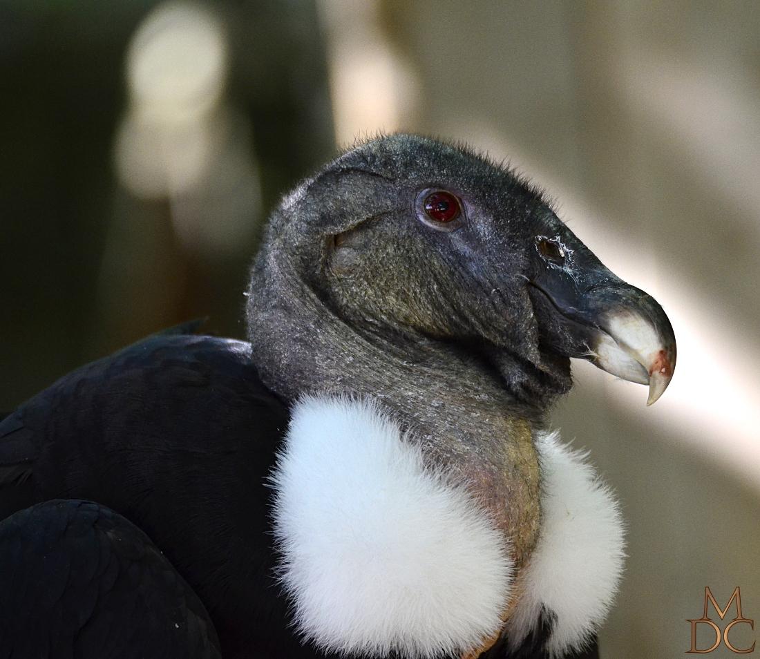 Condor des Andes Vultur gryphus - Andean Condor
