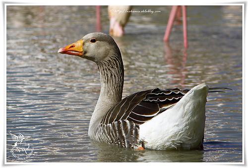 Oie cendrée - Anser anser - Greylag Goose (Ansériformes)