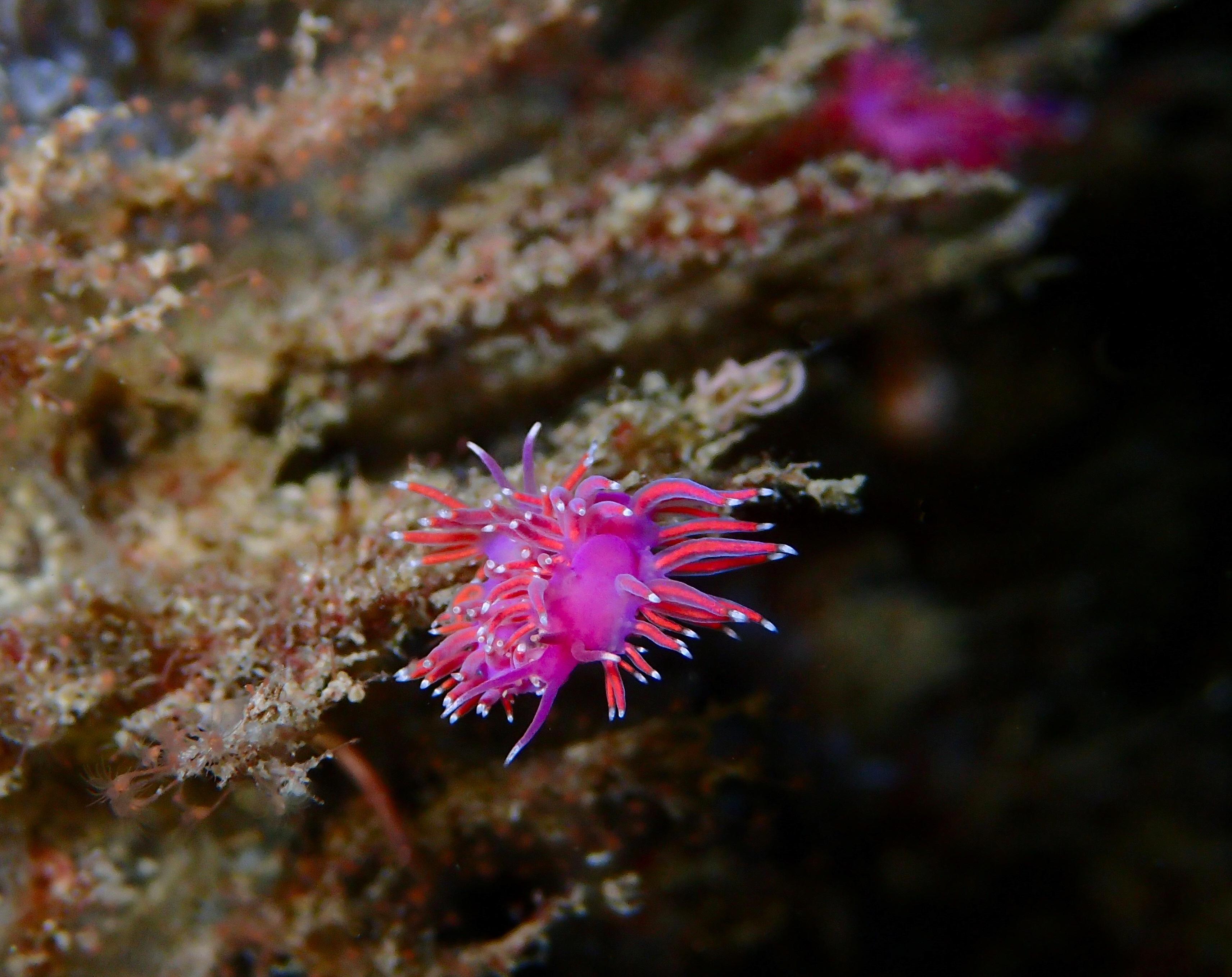 coryphelle mauve limace de mer