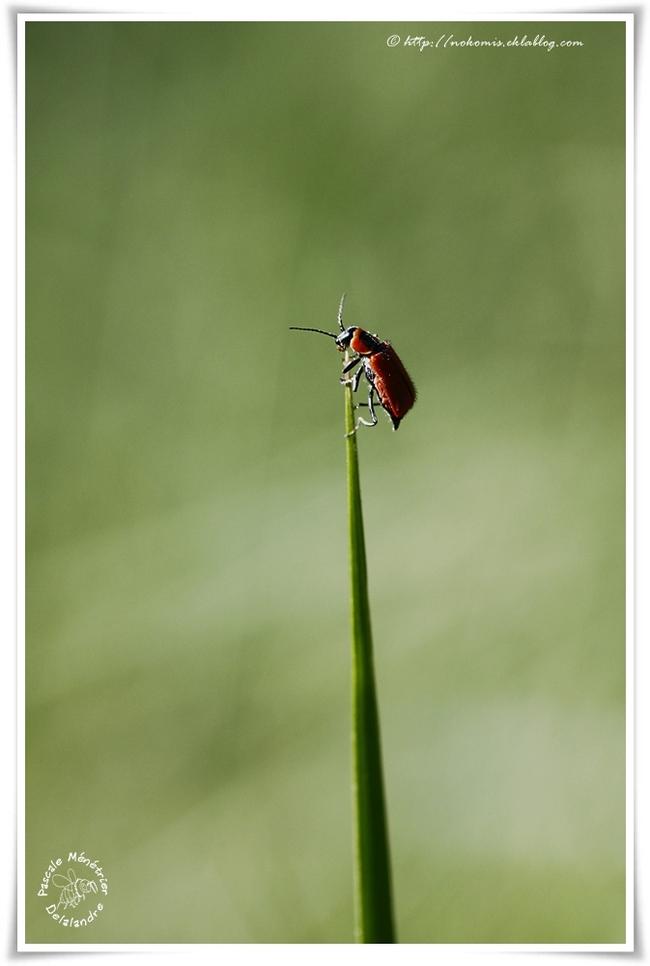 Ahthocomus coccineus ♀ (Malachiidae)