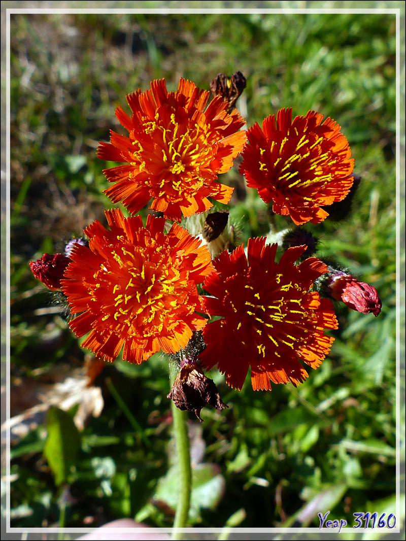 Épervière orangée, Bouquet ou Marguerite rouge, Devil's Paintbrush, Orange-red King Devil (Pilosella aurantiaca) - Grandes-Piles- Mauricie - Québec - Canada