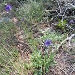 Jasione des montagnes- Jasione montana - Tuchan Mai 2015
