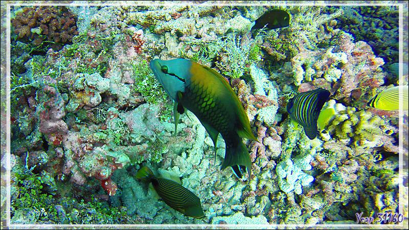 Labre à long museau ouEpibule trompeur, Slingjaw wrasse (Epibulus insidiator) - Tumakohua (passe sud) - Atoll de Fakarava - Tuamotu - Polynésie française