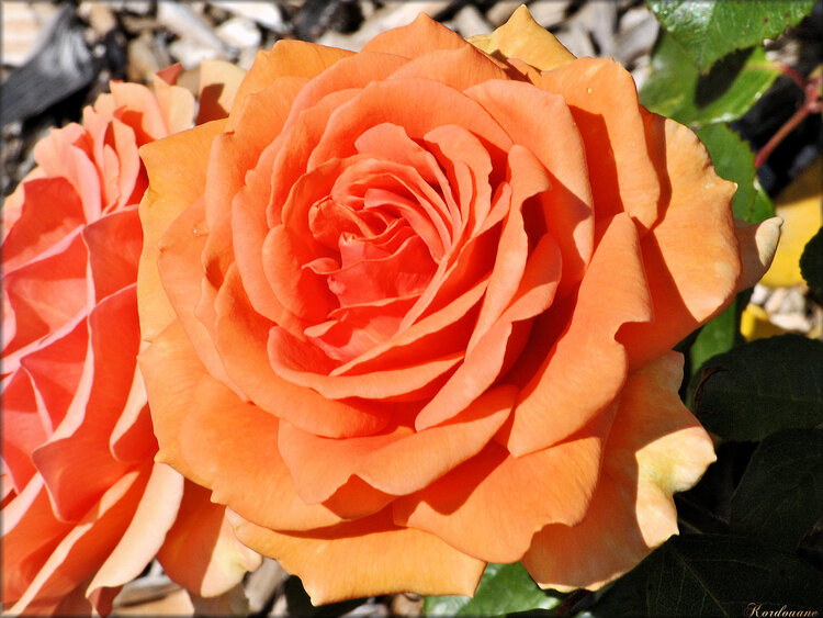 Photo de rose orange (fleur-flore)
