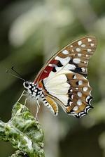 quand pour pierre-denis la chasse aux papillons était au printemps ......