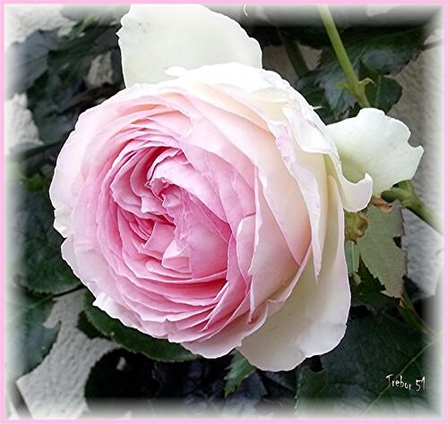 Pour voir la vie ne Rose......