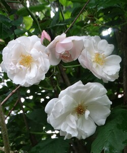Abécédaire des roses 2018