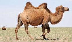 Le cheval...devenu chameau...!!!