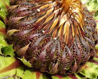 Carlina acanthifolia subsp. cynare  -  carline artichaut