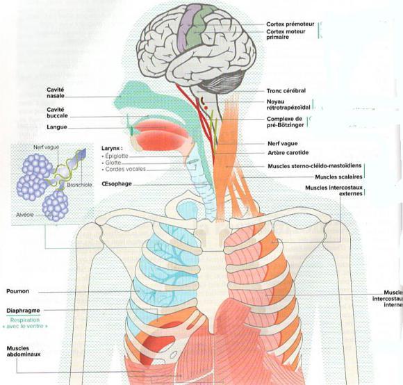 http://lancien.cowblog.fr/images/Cerveau3/poumons.jpg