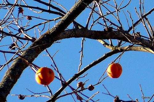 Les kakis sur l'arbre