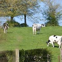 Holstein .