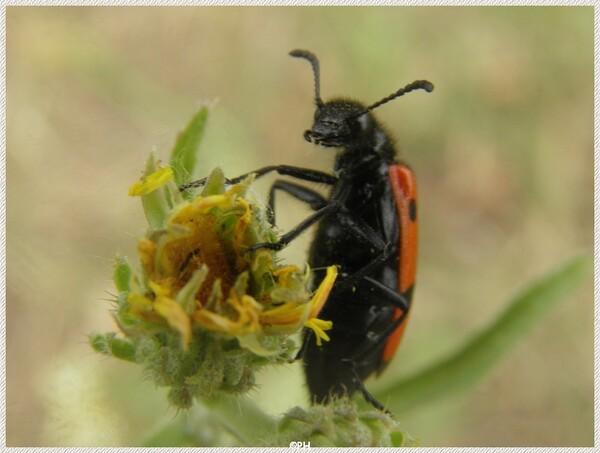 Trichode apiarius(clairon des abeilles)