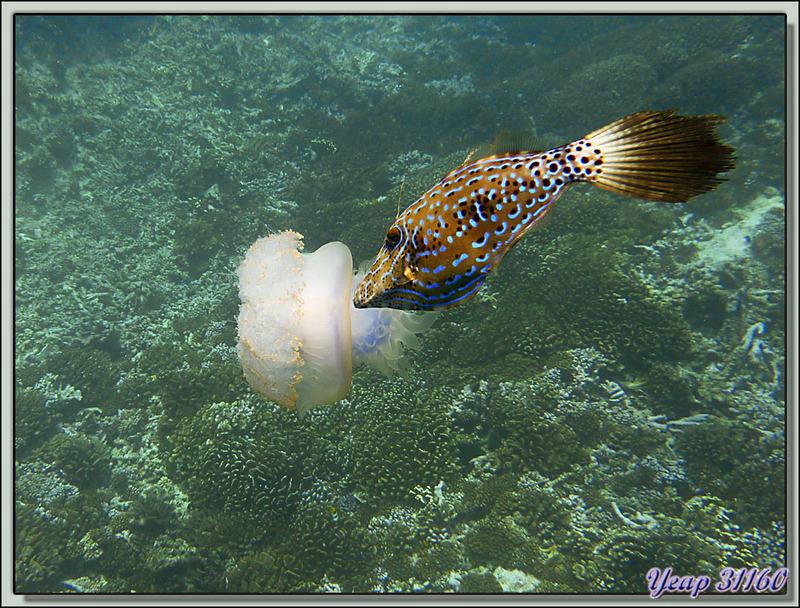 Remontée de la plongée Passe Nord de Fakarava (Passe Garuae) : La méduse et le poisson lime - Tuamotu - Polynésie française