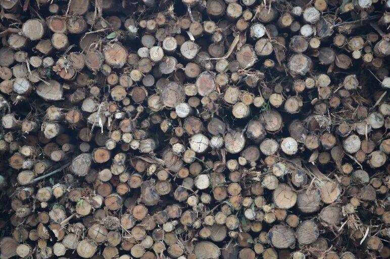 Cargaison de bois d'acacia destiné à la production de pulpe de bois, dans l'île indonésienne de Sumatran, en septembre.