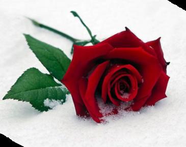 La rose givrée