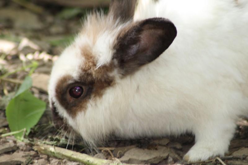 Les lapins (suite)