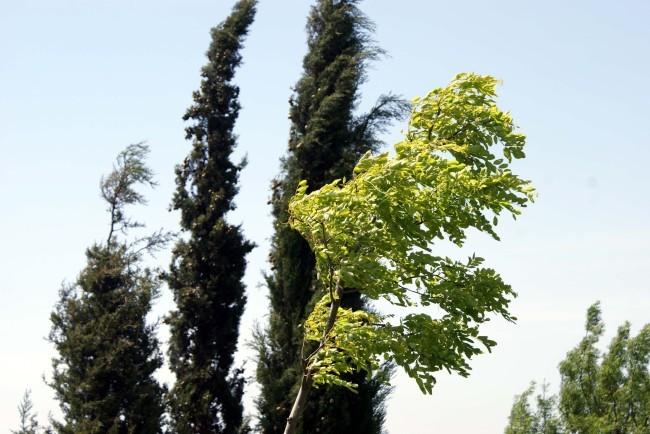 Robinia frisia 4586