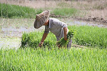 Récolte du riz : Pays Hakka : Fujian : Chine : Routard.com