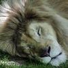 Lion 9.jpg