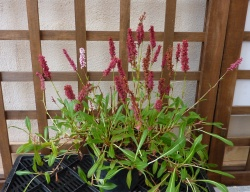 polygonum affine 'Darjeling Red'