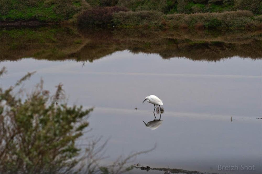 Marais de Guérande : L'aigrette garzette en quête de nourriture dans le marais