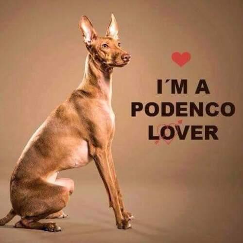 SPIRIT , Podenco Lover ,  recherche SA famille à lui / Asso 100 TOITS