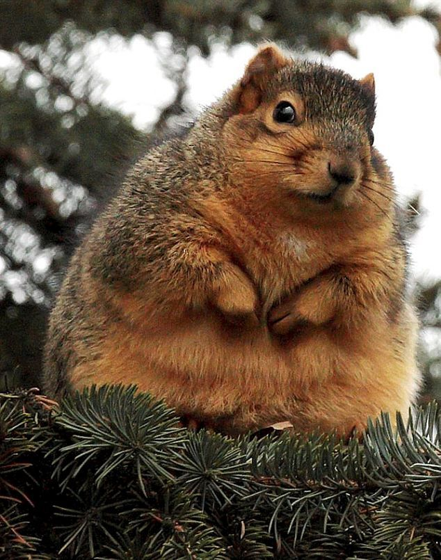 This chap looks as if he's been squirrelling away too many nuts for the winter ..