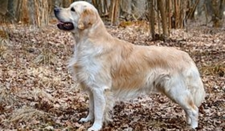 280px-Golden_retriever_stehfoto