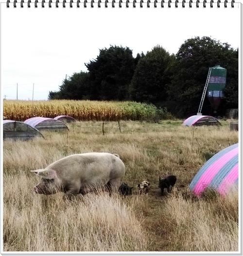 Une virée vers les cochons