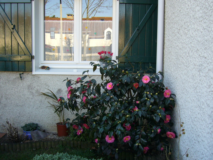 2007 - Montigny - Camélia