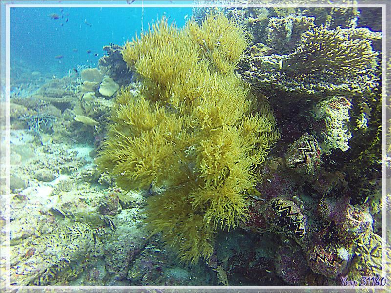 "Corail noir ""antipathaire"" ramifié jaune (Antipatharia spp) - Nosy Mitsio - Madagascar"