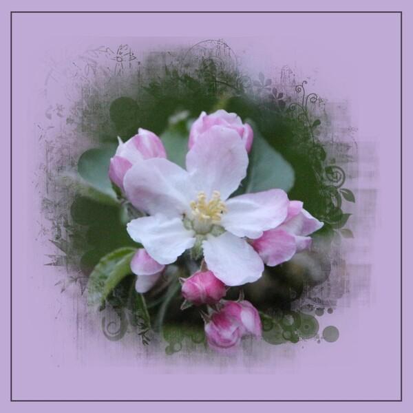 Bouquets de pommier