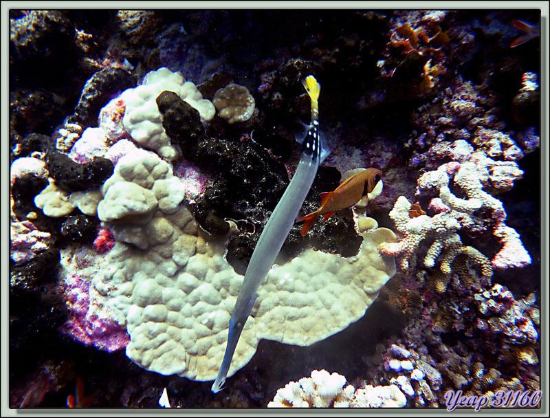 Plongée Passe Nord Fakarava : Poisson trompette - Tuamotu - Polynésie française
