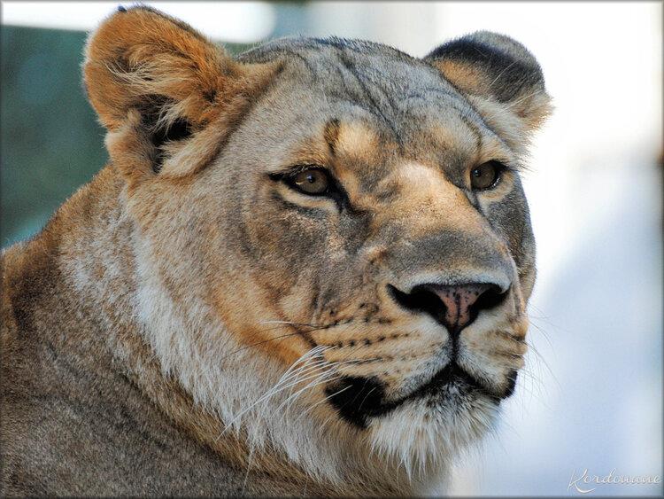 Photo d'une Lionne du Zoo de la Palmyre