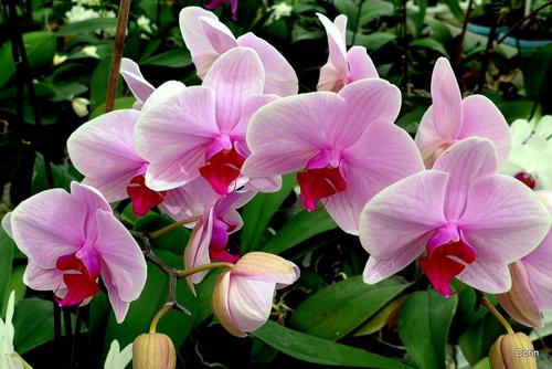 Les belles orchidées (1)
