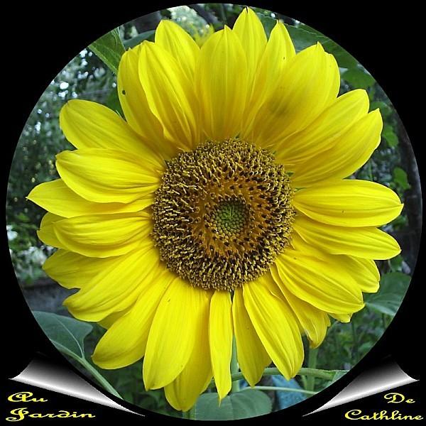 fleur-de-tournesol.jpg