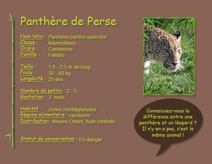 Panthère de Perse