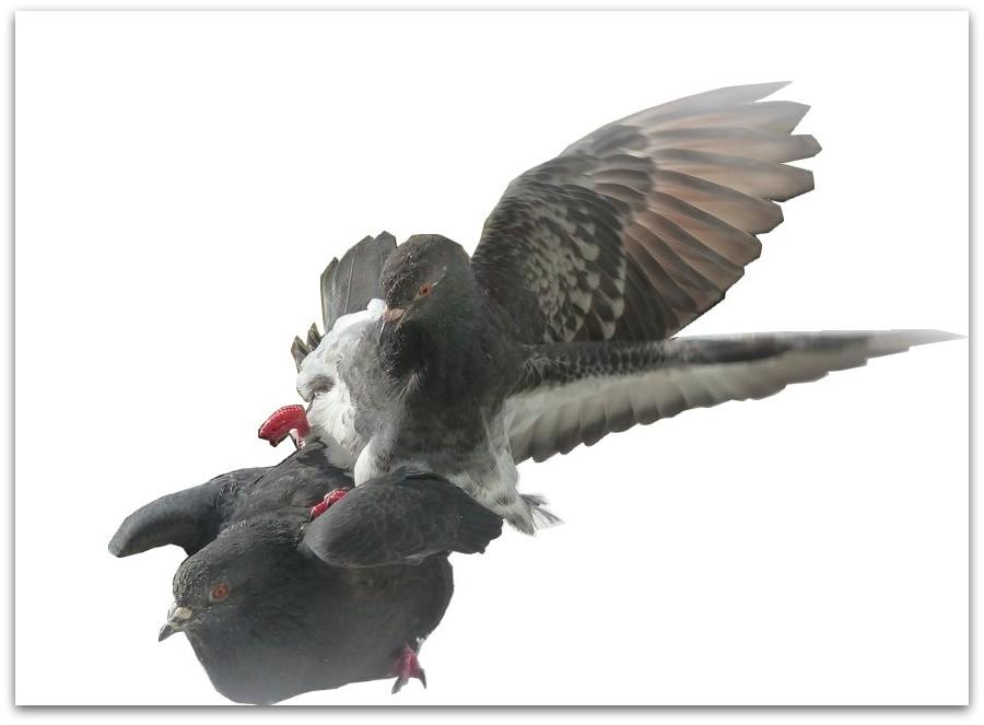Des cygnes... aux pigeons !