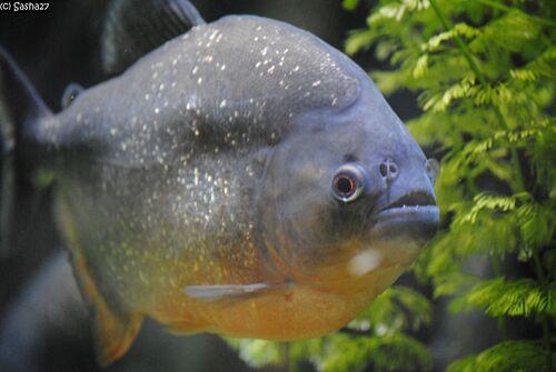 Piranha Rouge.
