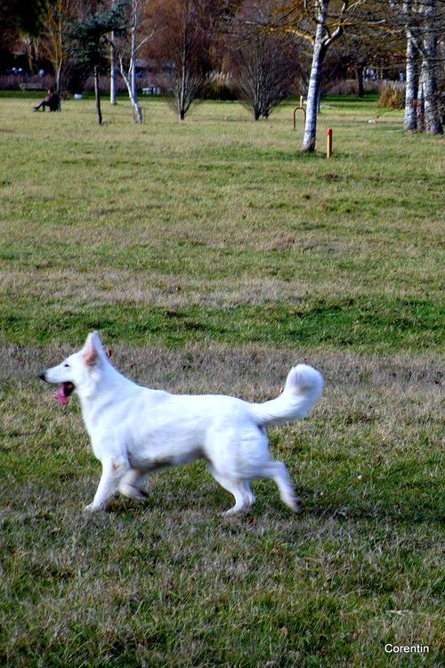 Les chiens dans un pré ... (1)