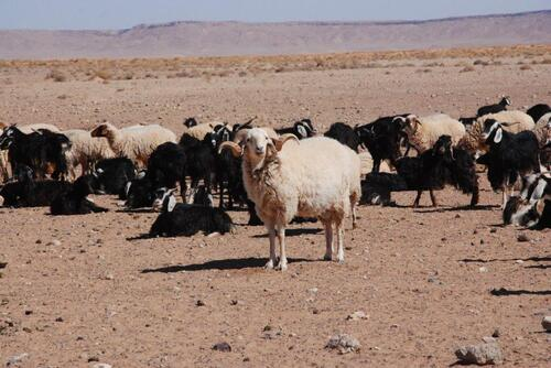 Leur troupeau de chèvre et moutons