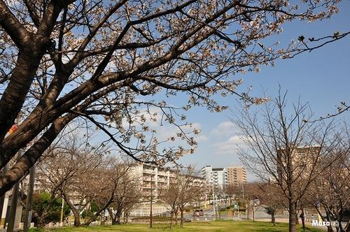 cerisiers de fukuoka