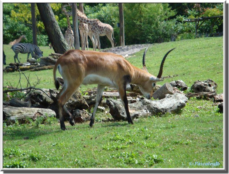 Antilopes2