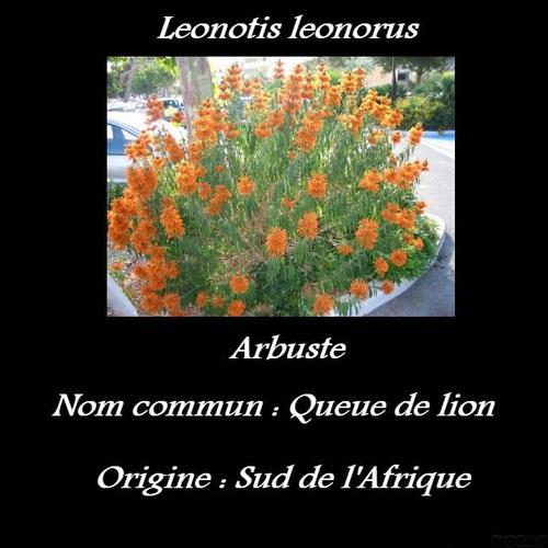 Leonotis leonorus