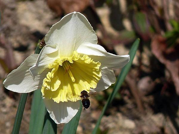 Narcisse abeille volante
