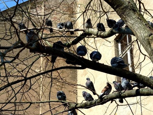 Pigeons de Metz 3 Marc de Metz 11 04 2013